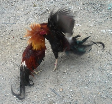 Philippines Cockfighting - Sabong