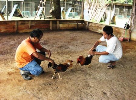 Philippines Cockfighting - Sabungan